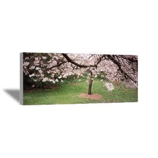 Wall Art  Canvas Art  Cherry Blossom tree in a park