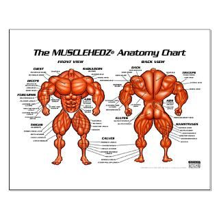 size 19 3 x 12 7 view larger musclehedz anatomy chart small poster
