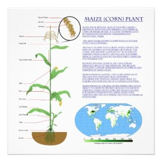 Diagram of the Maize Corn Plant Personalized Announcements