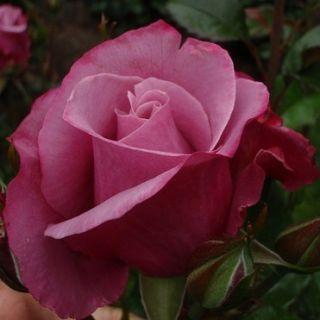 Rosa Barbra Streisand Rose