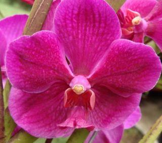 Vanda Roberts Delight Crownfox Big Red Award Winning Orchid Plant