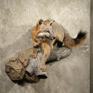 10888 N+  Grey Fox Life Size Wall Hanging Taxidermy Full Mount ~ Red