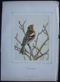 1880 Leo Paul Robert Folio Antique Bird Print Chaffinch