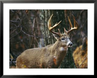 Portrait of a 12 Point White Tailed Deer Buck Pre made Frame at Art