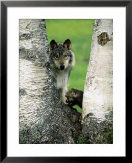 Male Gray Wolf and Cub Behind Tree, Montana Pre made Frame