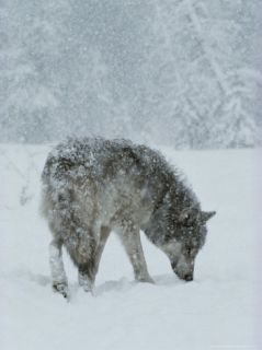 Gray Wolf, Canis Lupus, Sniffs at the Ground During a Snowstorm Photographic Print by Jim And Jamie Dutcher