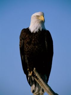 An American Bald Eagle Sits on Dead Tree Branch Photographic Print by Paul Nicklen