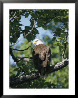 American Bald Eagle Perches on a Tree Branch Pre made Frame