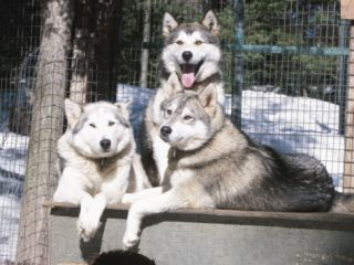 Husky Dogs Resting in Kennel in Winter Photographic Print