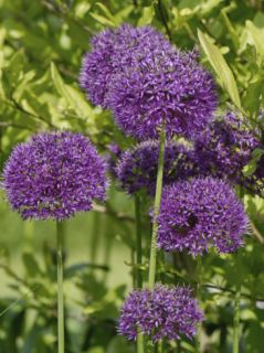 Allium Purple Sensation Flowers on Ornamental Garden Plants Photographic Print by Nigel Cattlin