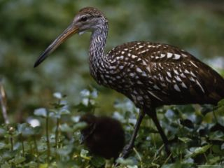 Limpkin and Chick Along Wekiva River near Orlando, Florida Photographic Print by Phil Schermeister