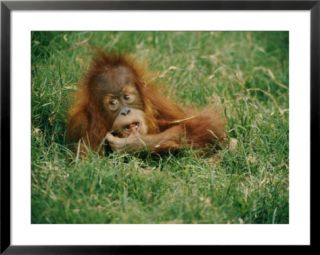 A captive juvenile orangutan sits in the tall grass Pre made Frame