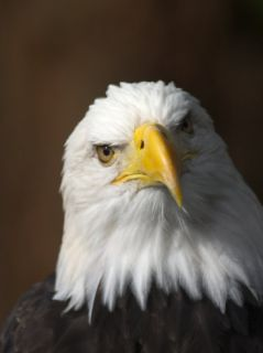 A Portrait of a Northern American Bald Eagle Photographic Print by Ralph Lee Hopkins