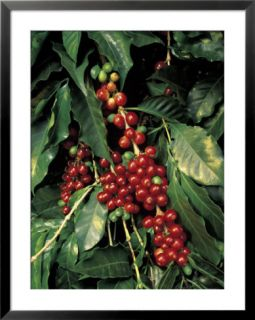Coffee Beans on Tree, Costa Rica Pre made Frame