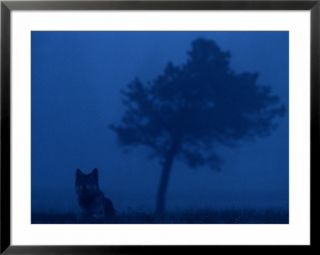 Misty view of a gray wolf sitting near a tree Pre made Frame