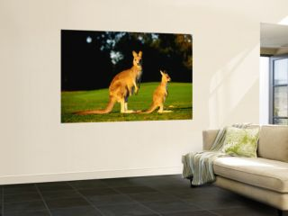Kangaroo and Joey Wall Mural by John Banagan