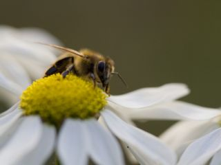 A Honey Bee, Apis Mellifera, Collecting Daisy Nectar and Pollen Photographic Print by Joe Petersburger