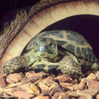Russian Tortoise   Reptile   Live Pet