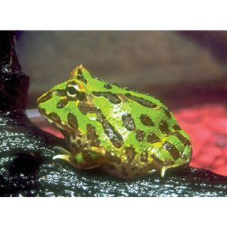 � Green Pac Man Frog   Live Pet   Reptile