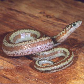 Rosy Boa   Reptile   Live Pet