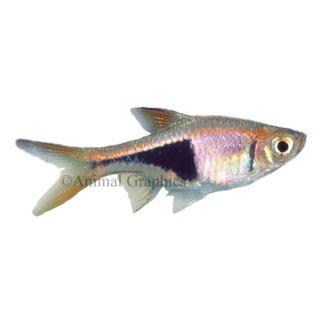 Rasbora Heteromorpha Danio   Tropical   Fish