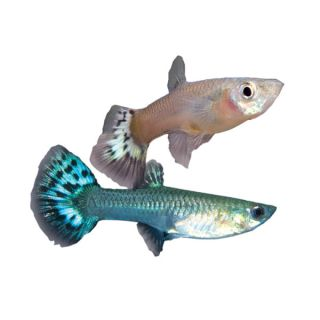 Tropical Fish for Sale   Colorful Live Tropical Fish