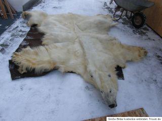 Eisbär Präparat oso blanco báixióng ursus maritimus cites polar