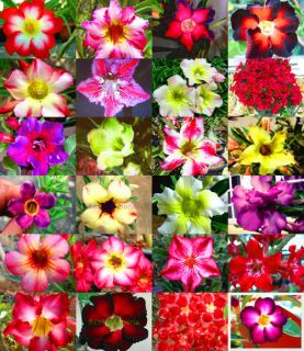 Adenium Obesum identified by color 100 Seeds 24 Type