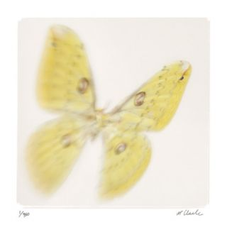 Butterfly Study 11 Limited Edition by Claude Peschel Dutombe