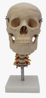 Schädel mit Halswirbelsäule auf Ständer Anatomie Modell