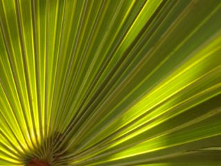 Travelers Palm Leaf Detail, Edgewater, Florida Photographic Print by Lisa S. Engelbrecht