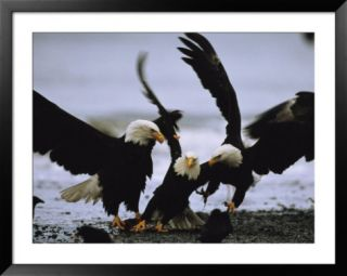 A Group of American Bald Eagles Fight over Food Posters by Klaus Nigge