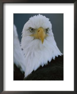 A Portrait of an American Bald Eagle Prints by Klaus Nigge
