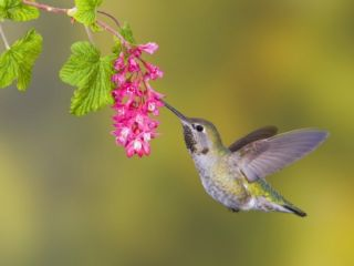 Annas Hummingbird (Calypte Anna) Feeding at a Red Currant Flower in Victoria, British Columbia, Ca Photographic Print by Glenn Bartley