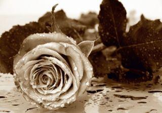 Rose Blume Blüte Rosen Foto 360 cm x 254 cm schwarz weiß