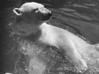 Polar Bear Swimming in Water, Close Up Photographic Print by George Marks