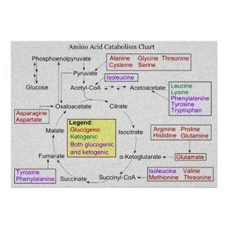Catabolism of Proteinogenic Amino Acids Diagram Posters