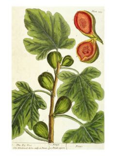 The Fig Tree, Plate 125 from A Curious Herbal, published 1782 Giclee Print by Elizabeth Blackwell