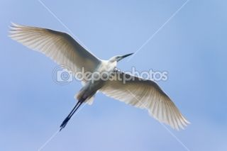 Flying white heron  Stock Photo © Maksym Gorpeniuk #1495814